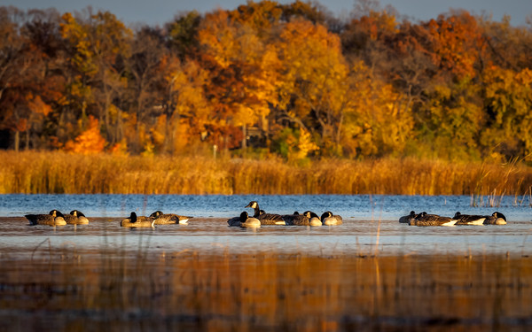 Canada Geese Fall Colors